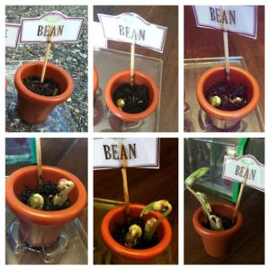 Planting beans is a fun gardening activity that is also a wonderful scientific experiment.
